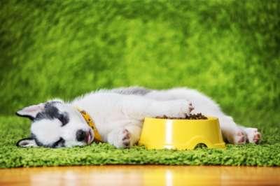 Chiot qui dors à côté de ses croquettes